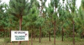 tree plantation in Uganda