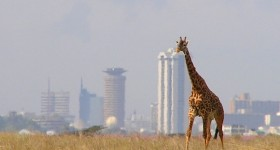 Giraffe against the skyline of Nairobi